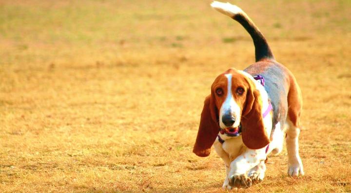 basset-hound