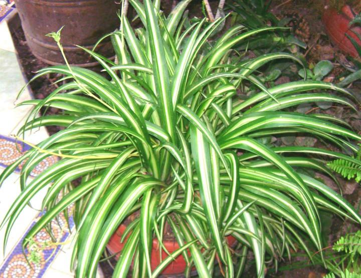 zielistka-chlorophytum