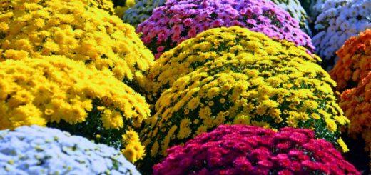 jak przedluzyc kwitnienie chryzantem