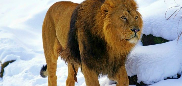zoo wroclaw lew