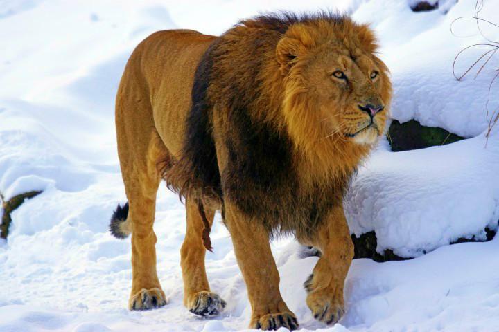 zoo wroclaw lew wybieg