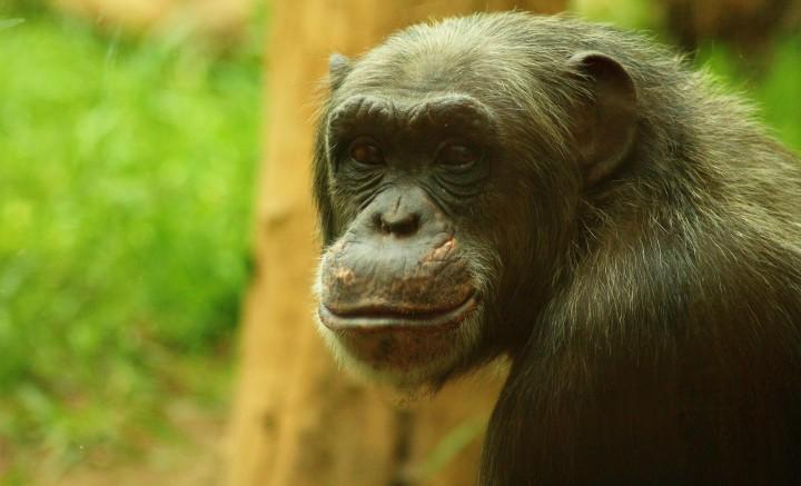 zoo wroclaw szympans