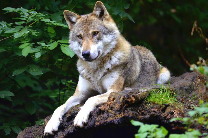 zoo wroclaw wilk