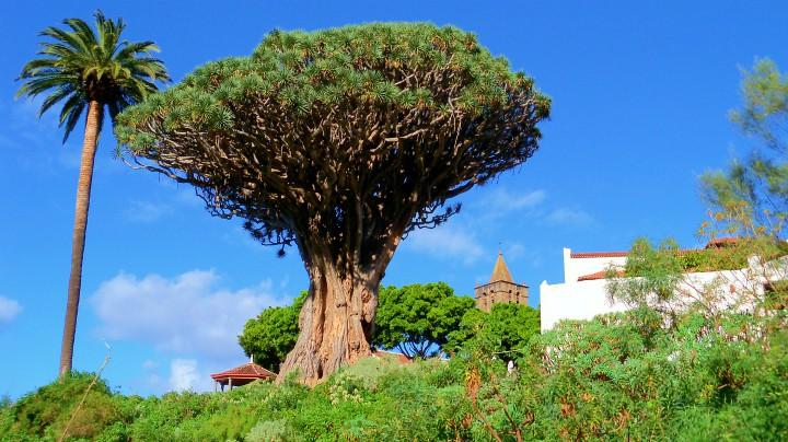 teneryfa_smocze drzewo
