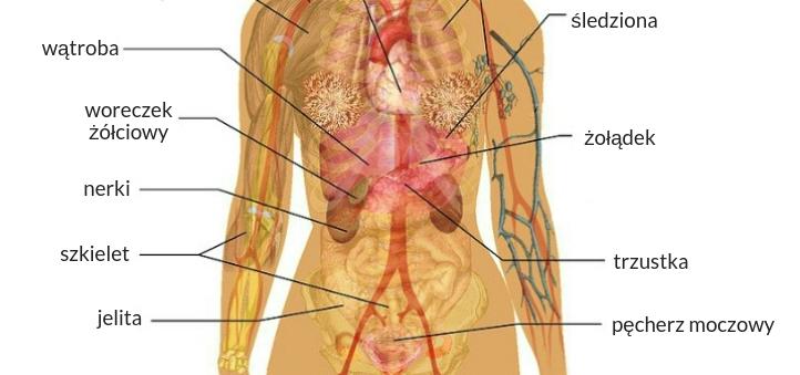brzuch anatomia