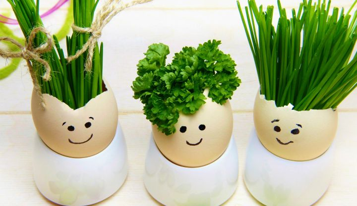 jajka zielone czuprynki