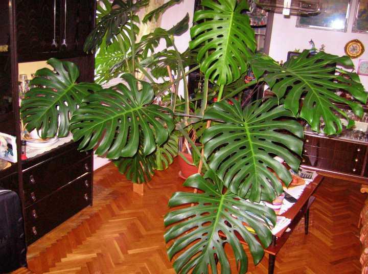 filodendron roslina trujaca